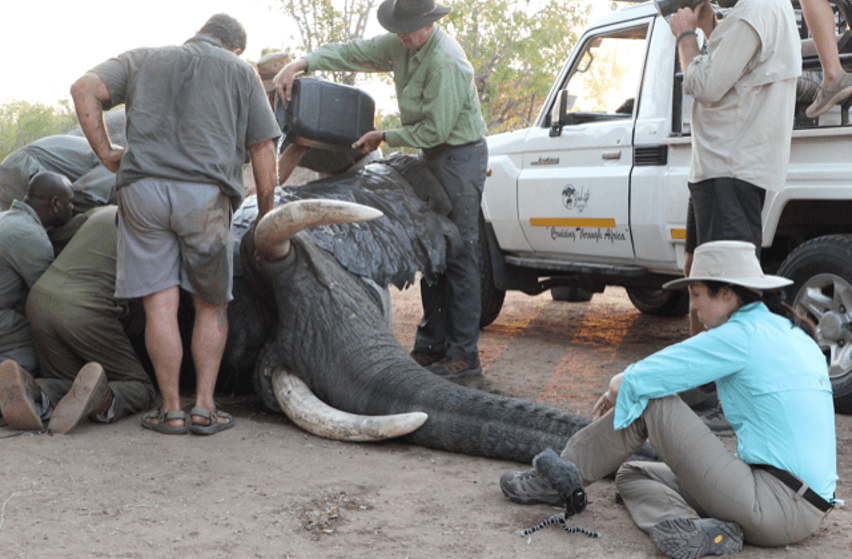 collaring-for-protection-elephants