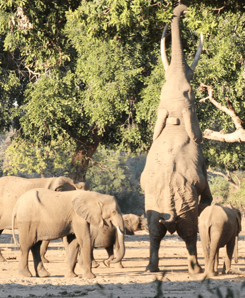 standing-elephant