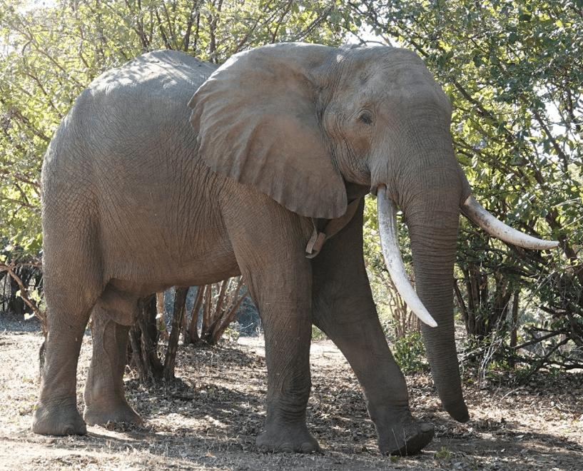 Tusker elephant casually strolling along trees