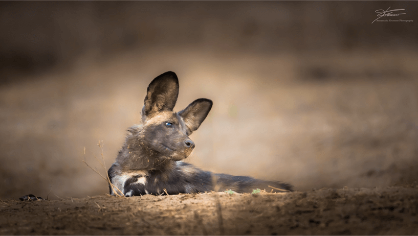 painted dog looking far away