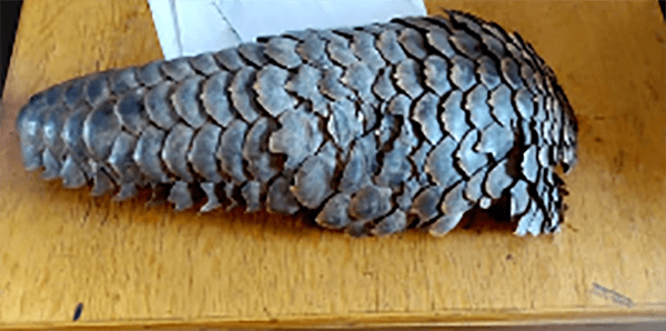 pangolin in yellow tub