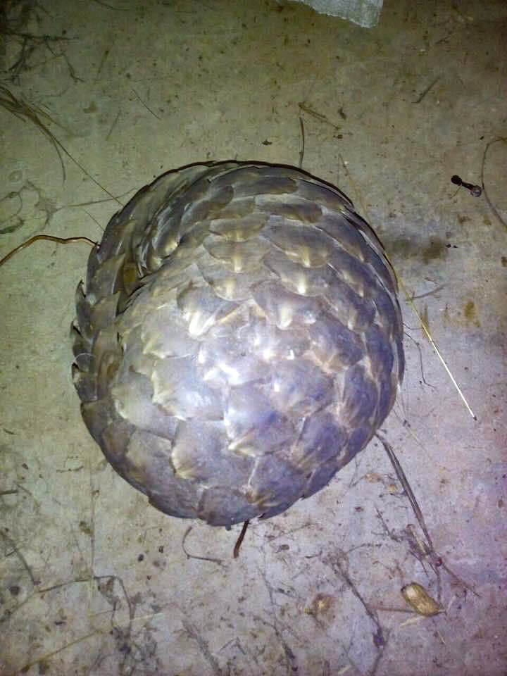 threatend pangolin