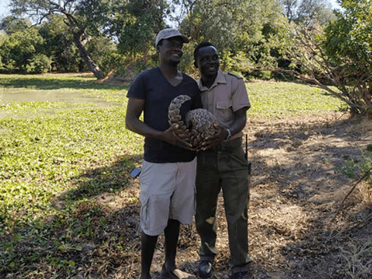released female pangolin