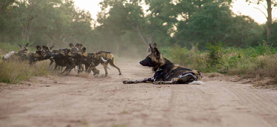 waiting for another food wild dog