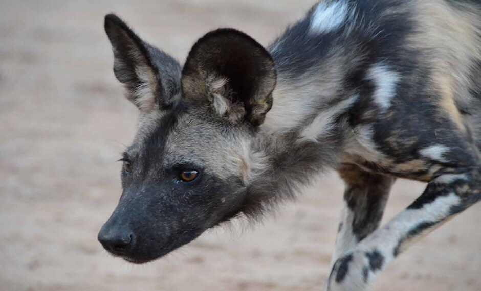 looking for food wild dog