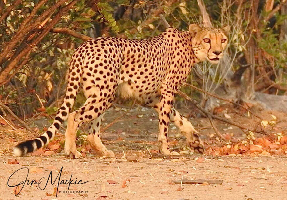 south-african-cheetah-2