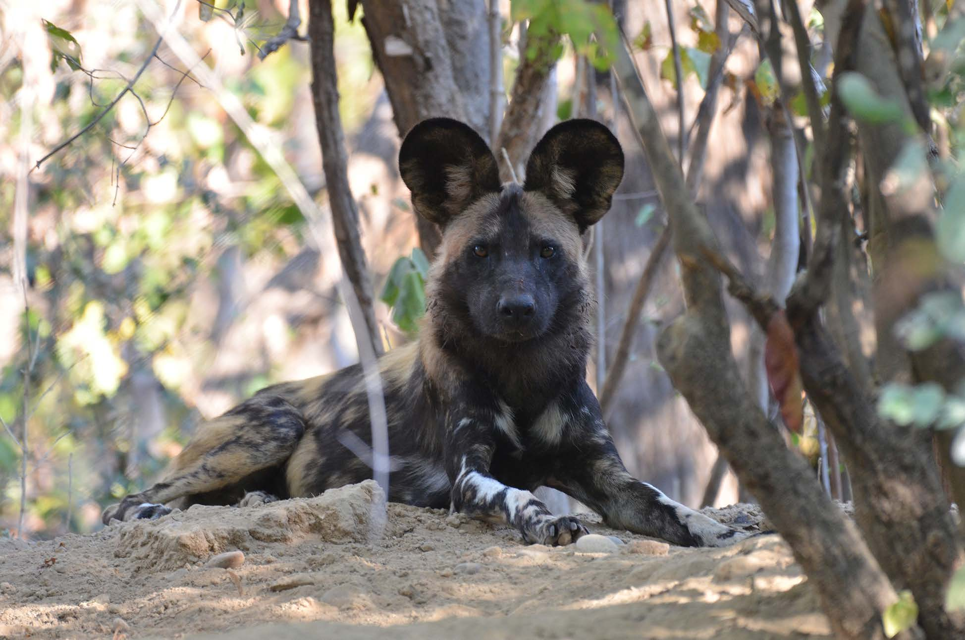 alert waiting hyeena