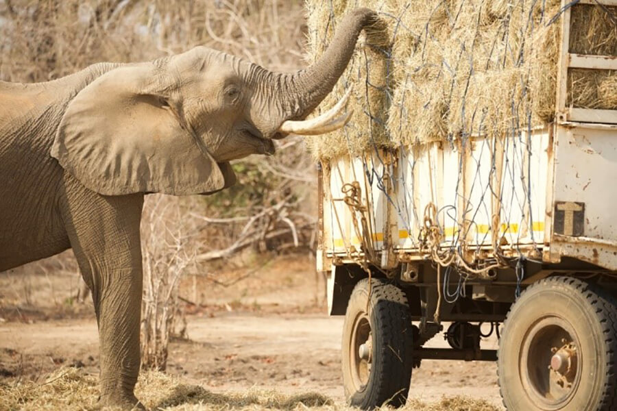 elephant eating grass on truck