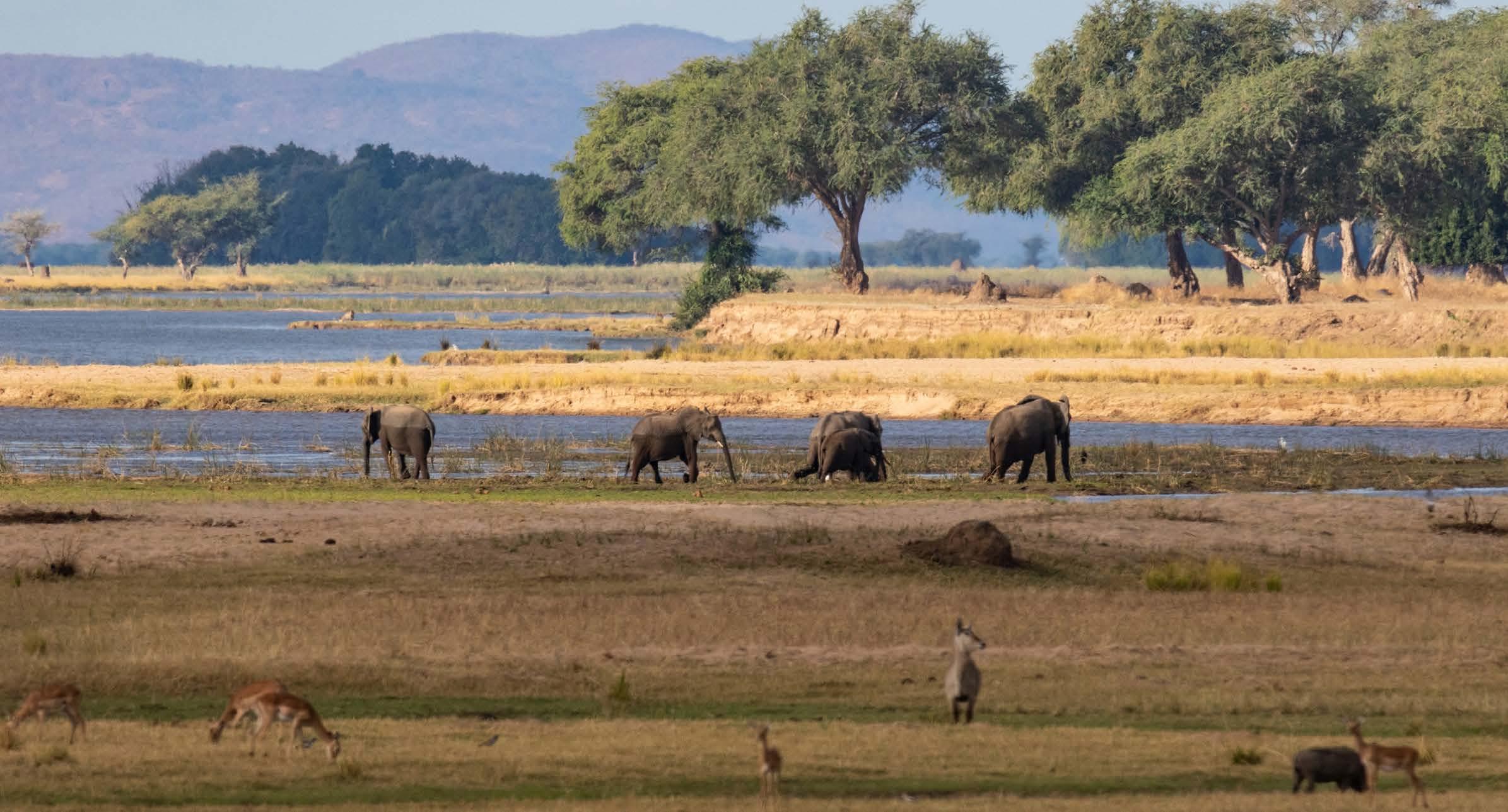 wide-shot elephants