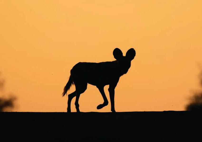 sillhouette hyeena